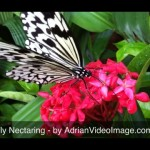 Butterfly Video Clip - Feeding on Flower Nectar