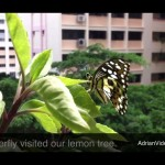 Butterfly Lays Eggs on Lemon Tree