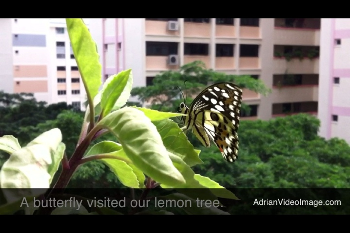 Butterfly Lays Eggs on Lemon Tree