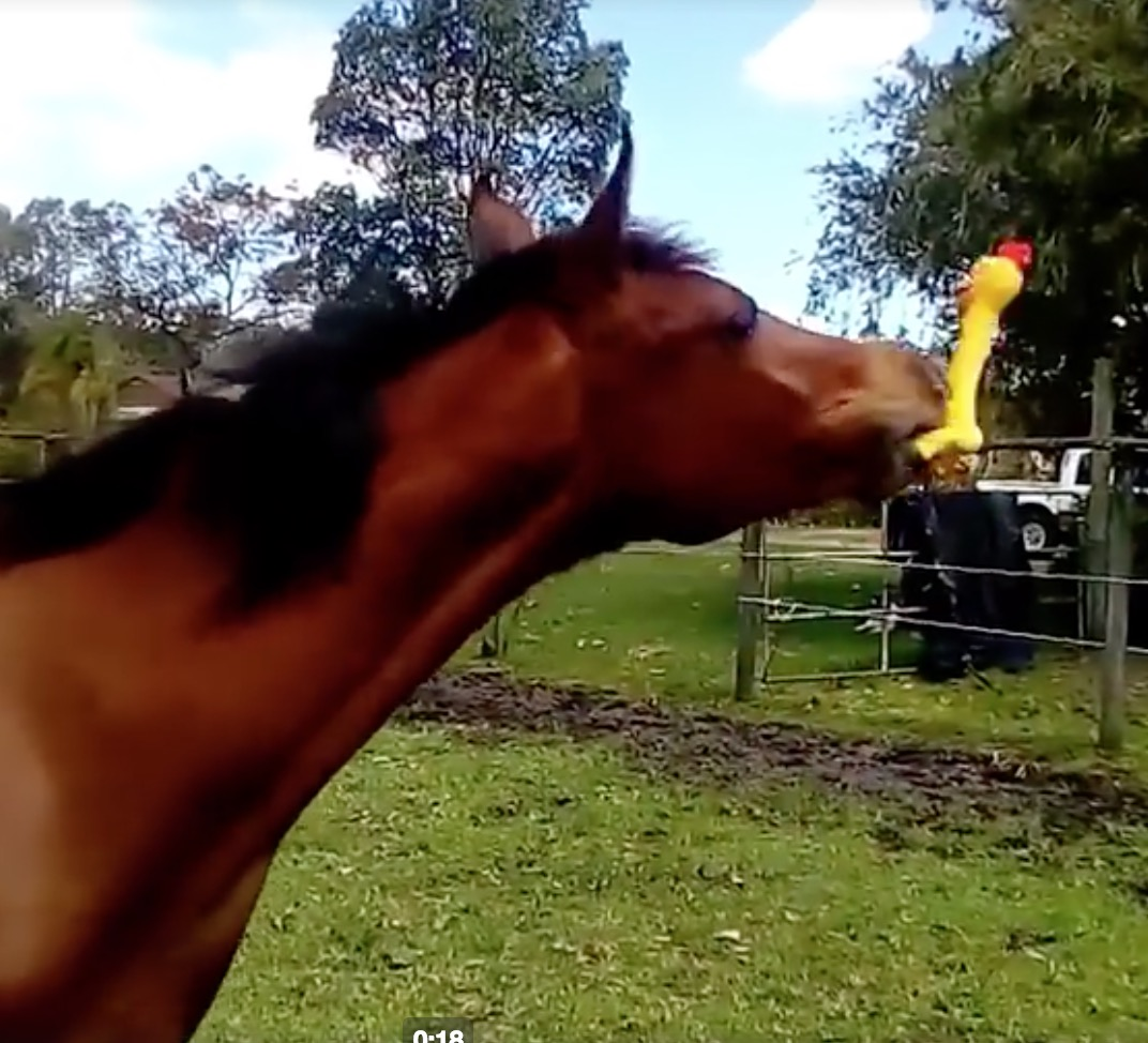 Horse Plays with Squeaky Rubber Chicken